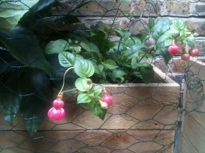 The First Fuchsias